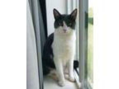 Adopt Zoe a Black & White or Tuxedo Domestic Shorthair / Mixed cat in Selma