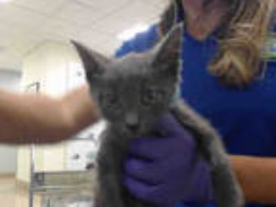 Adopt BARLEY a Gray or Blue Domestic Shorthair / Mixed (short coat) cat in