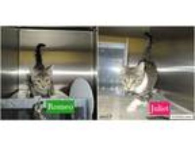 Adopt Romeo & Juliet a Gray, Blue or Silver Tabby Domestic Shorthair (short