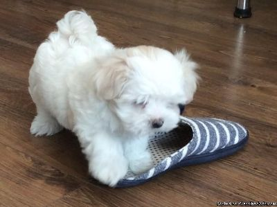 Charming Maltese puppies