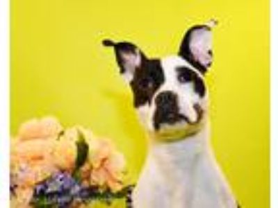 Adopt Beatrice a White - with Black American Staffordshire Terrier / Mixed dog