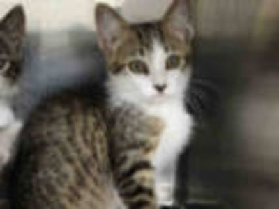 Adopt BLANCHE a Gray, Blue or Silver Tabby Domestic Shorthair / Mixed (short