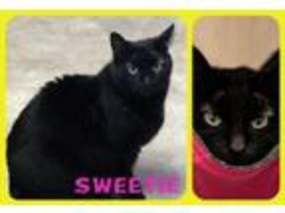 Adopt Sweety a Domestic Shorthair / Mixed cat in Berkeley Springs, WV (11468603)