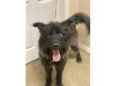 Adopt Hunter (CHIPPED) a Black Shepherd (Unknown Type) / Mixed dog in