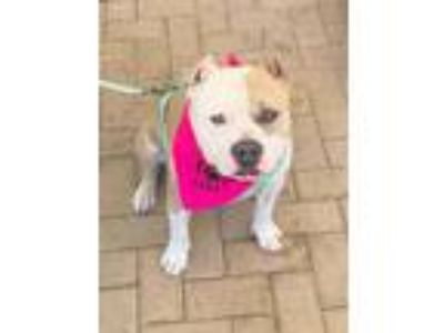 Adopt KELLY a White - with Tan, Yellow or Fawn American Pit Bull Terrier / Mixed