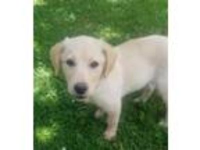 Adopt Pennsylvania Railroad a Beagle, Labrador Retriever
