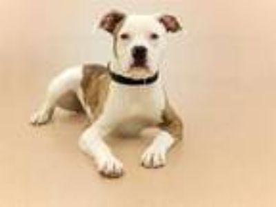 Adopt CODY a White American Pit Bull Terrier / Mixed dog in Vero Beach
