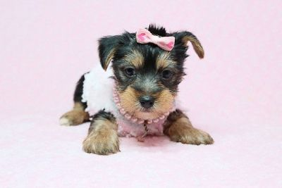 Beautiful Teacup Yorkie Puppies for Sale in Las Vegas! Financing and Shipping Available!