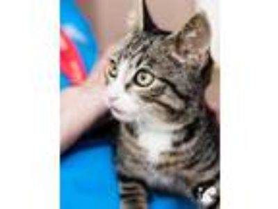 Adopt Kaleo a Brown or Chocolate Domestic Shorthair / Domestic Shorthair / Mixed