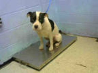 Adopt TITUS a White - with Black American Pit Bull Terrier / Mixed dog in