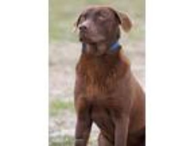 Adopt Choc 5765 a Brown/Chocolate - with Tan Labrador Retriever / Mixed dog in