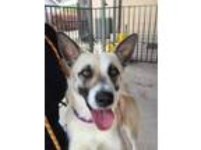 Adopt Carly a Tan/Yellow/Fawn Shepherd (Unknown Type) / Mixed dog in Plano