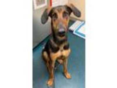 Adopt Romeo a Doberman Pinscher / Hound (Unknown Type) / Mixed dog in Oceanside