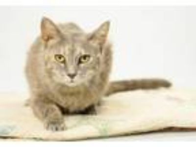 Adopt Giselle a Gray, Blue or Silver Tabby Domestic Shorthair / Mixed (short