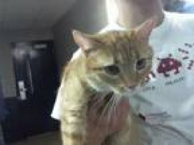 Adopt THOM THOM a Orange or Red Tabby Domestic Shorthair / Mixed (short coat)