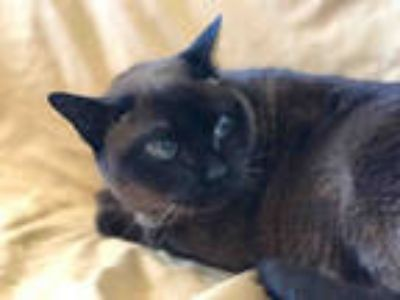 Adopt TYE a Brown or Chocolate Tonkinese / Mixed (short coat) cat in Urbana