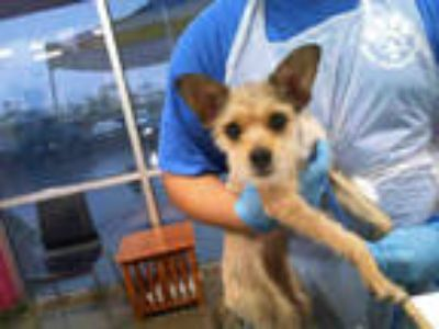 Adopt MAGGIE a Tan/Yellow/Fawn Fox Terrier (Wirehaired) / Mixed dog in Dallas