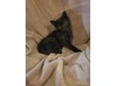 Adopt Max (Needs Foster) a All Black Domestic Shorthair / Mixed cat in