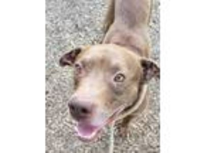 Adopt Didgeridoo a Brown/Chocolate American Pit Bull Terrier / Mixed dog in