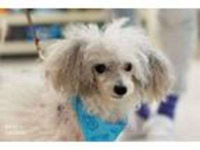 Adopt Teddy a Poodle