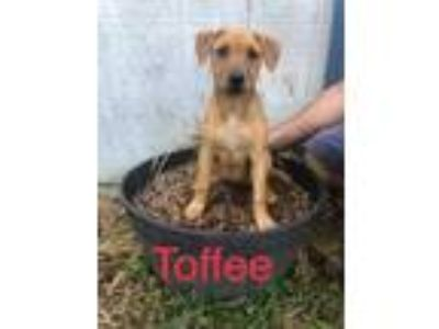 Adopt Toffee a Tan/Yellow/Fawn - with White Labrador Retriever / Mixed dog in