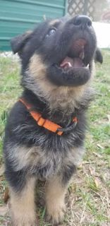 German Shepherd Dog PUPPY FOR SALE ADN-77226 - This little girl is ready for a new home