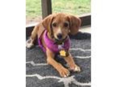 Adopt Peeps a Red/Golden/Orange/Chestnut - with White Beagle / Mixed dog in