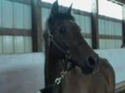 Adopt Laredo a Arabian