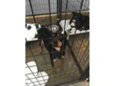Adopt Patsy a Black Hound (Unknown Type) / Mixed dog in Henderson, KY (21613600)