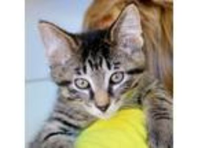 Adopt Miso a Brown Tabby Domestic Shorthair / Mixed (short coat) cat in
