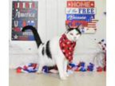 Adopt Houdini a Domestic Short Hair
