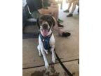 Adopt Levi DFW a German Shorthaired Pointer