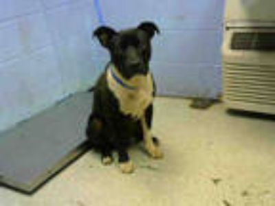 Adopt CHUNK a Black - with White Labrador Retriever / Mixed dog in Atlanta