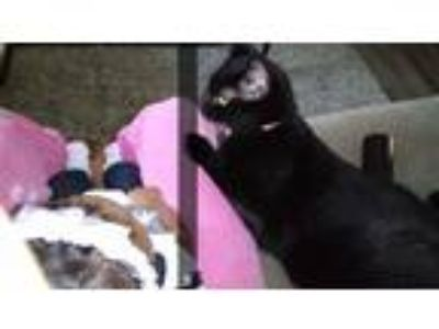 Adopt Lola a Black & White or Tuxedo Domestic Mediumhair / Mixed cat in