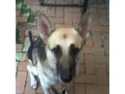 Adopt Max a Tricolor (Tan/Brown & Black & White) German Shepherd Dog / Mixed dog