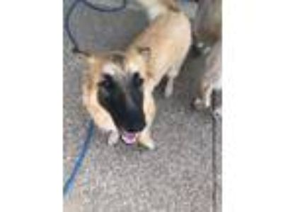 Adopt Sansa #1 a German Shepherd Dog