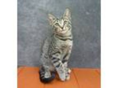 Adopt Archer - Lap Kitten Good With Kids! a Tabby, Domestic Short Hair