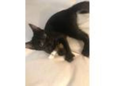 Adopt Mary Olive a Domestic Short Hair