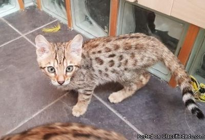 NGHDT M/F Bengal Kittens Available