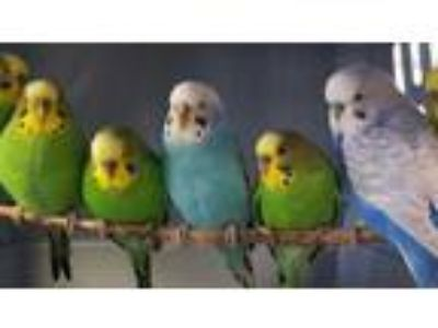 Adopt Suet a Blue Parakeet - Other / Mixed bird in Washington, DC (25938887)