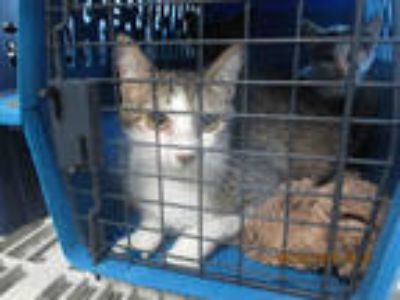 Adopt COURTNEY a Brown Tabby Domestic Shorthair / Mixed (short coat) cat in