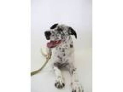 Adopt Jacob a Dalmatian, Labrador Retriever