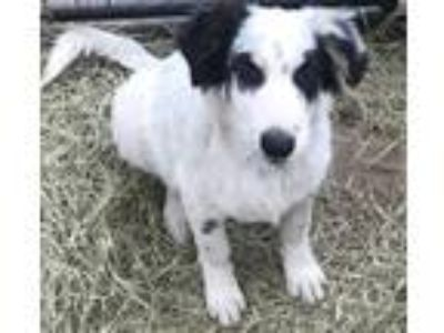 Adopt Bingo a White - with Black Border Collie / Mixed Breed (Medium) / Mixed