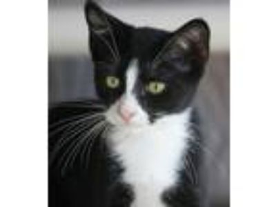 Adopt Pixie a Domestic Shorthair / Mixed (short coat) cat in North Fort Myers
