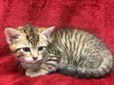 Adopt Kelly a Gray, Blue or Silver Tabby Domestic Shorthair (short coat) cat in
