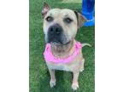 Adopt Estelle a Tan/Yellow/Fawn American Pit Bull Terrier / Mixed dog in