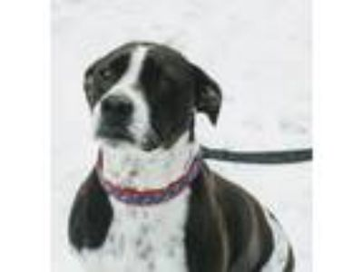 Adopt Rosie a White - with Black German Shorthaired Pointer / Mixed dog in
