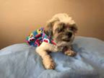 Adopt HONEY BEAR a Brown/Chocolate - with White Shih Tzu / Mixed dog in
