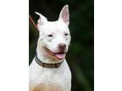 Adopt Gunther a White Pit Bull Terrier / Mixed dog in Pottsville, PA (22478792)