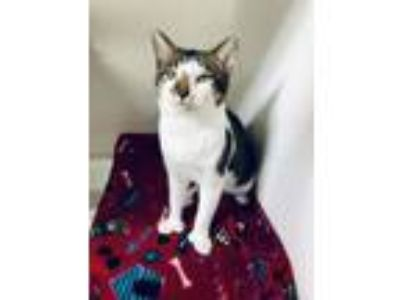 Adopt Archie a Domestic Short Hair